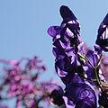 Aconitum sp.-IMG 5586.jpg