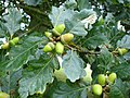 Acorns of the sessile oak - geograph.org.uk - 575852.jpg