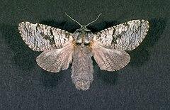 240px acossus populi