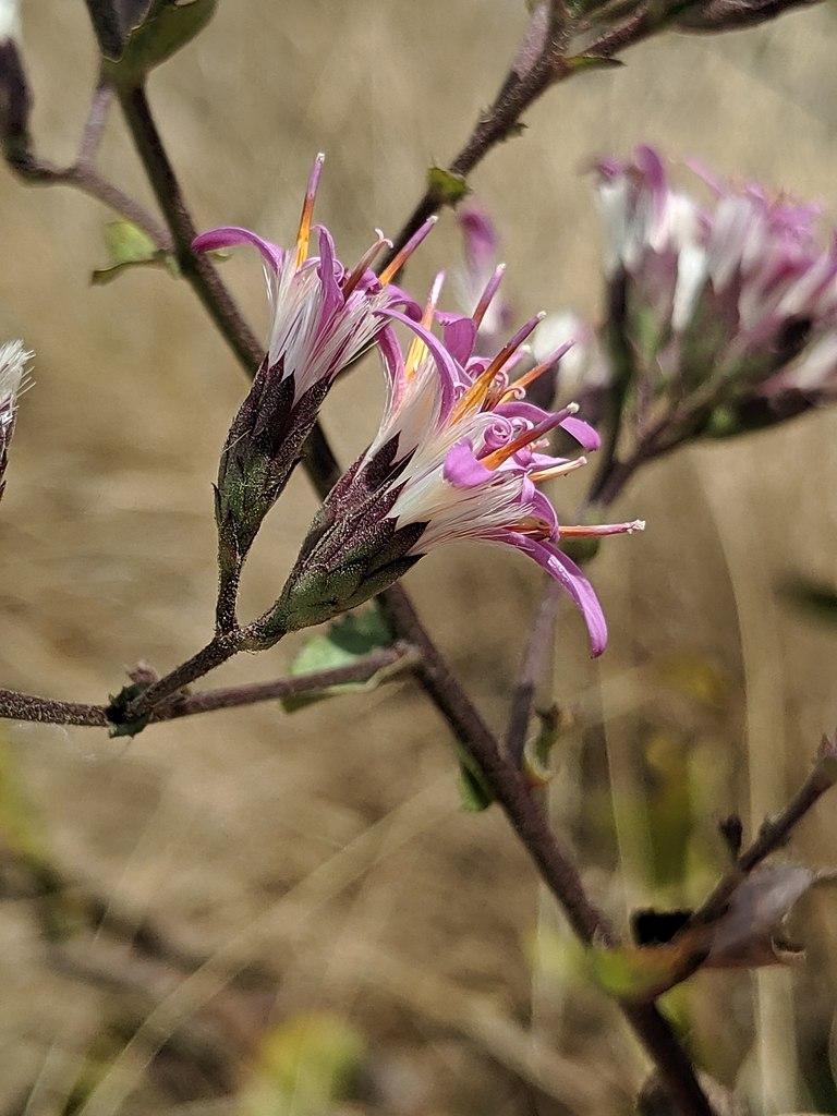 File Acourtia Microcephala 46138263 Jpg Wikipedia