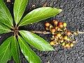 Actinodaphne bourdillonii Andiparai DSCN0470.JPG