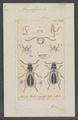 Acupalpus - Print - Iconographia Zoologica - Special Collections University of Amsterdam - UBAINV0274 011 07 0007.tif