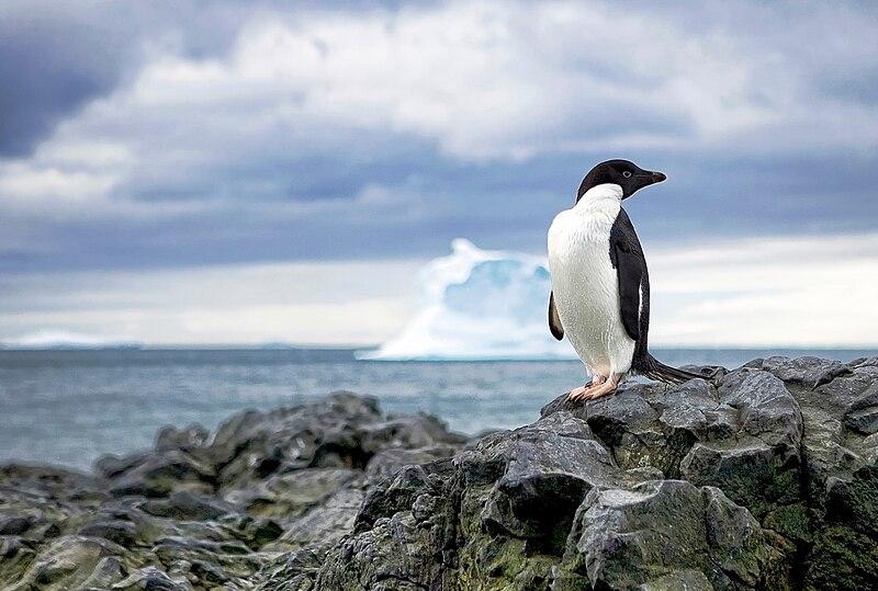 File:Adélie penguin (15193636494).jpg