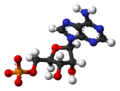 Adenosine-monophosphate-dianion-3D-balls.png