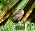 Adult Tortoise Bug Eurygaster testudinaria (3) (23780490808).jpg