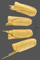 Aegilops cylindrica ARS-1.png