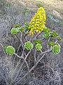 Aeonium manriqueorum1.jpg