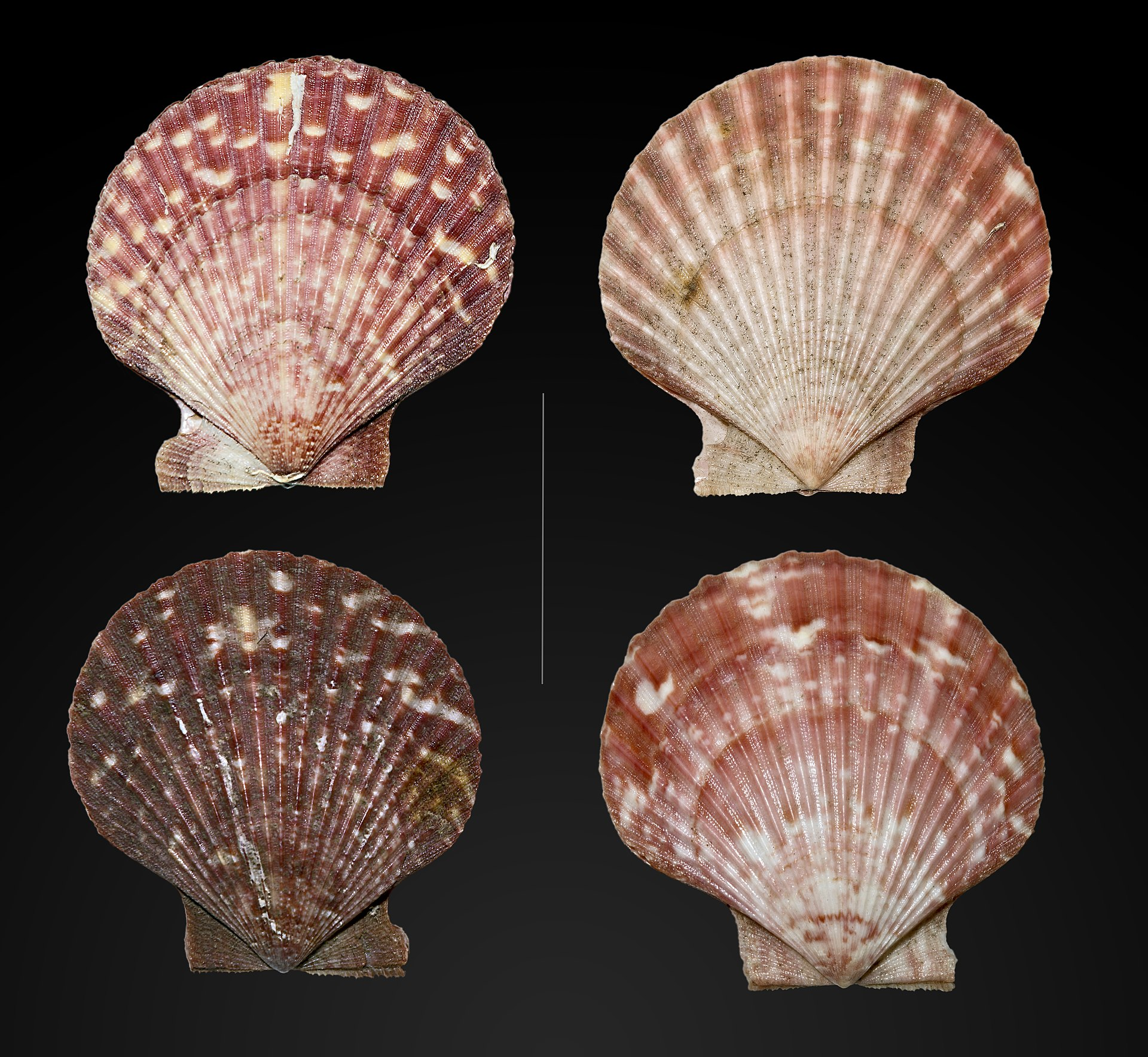 Types Of Threads >> Queen scallop - Wikipedia