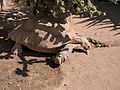 African Spurred Tortoise, America's Teaching Zoo.jpg