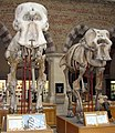 African and Asian elephant skeletons.jpg