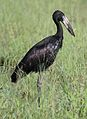 African openbill, Anastomus lamelligerus, at Kruger National Park, South Africa (26901206972).jpg
