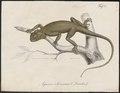 Agama colonorum - 1700-1880 - Print - Iconographia Zoologica - Special Collections University of Amsterdam - UBA01 IZ12700087.tif