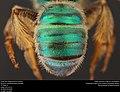 Agamostemon texana (37360107181).jpg