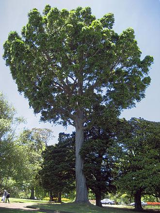 Agathis robusta - Image: Agathisrobusta 03