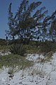 Agave americana, Casuarina. Uniola North shore (24998363798).jpg