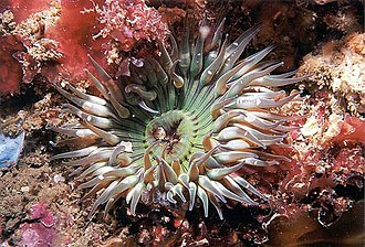 Wreck Alley - Aggregating Anemone - Wreck Alley, San Diego, CA