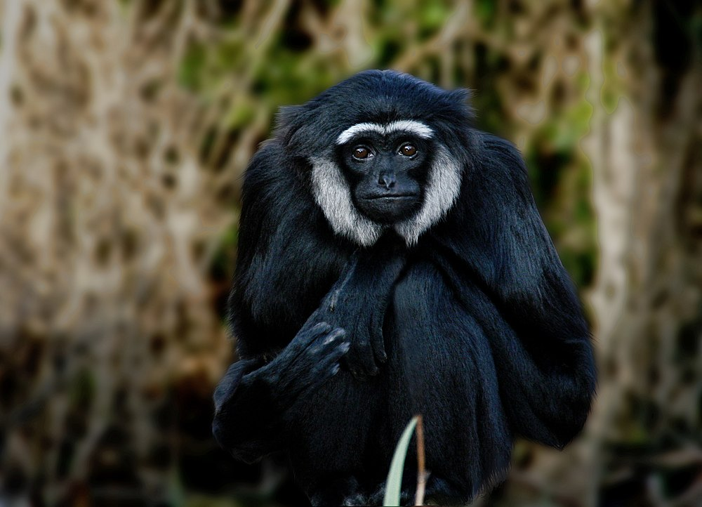 The average adult size of a Agile gibbon is  (1' 10