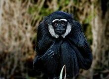 黑掌长臂猿