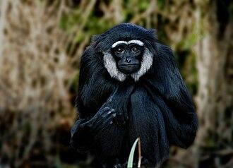 Gibbon - Agile gibbon, Hylobates agilis