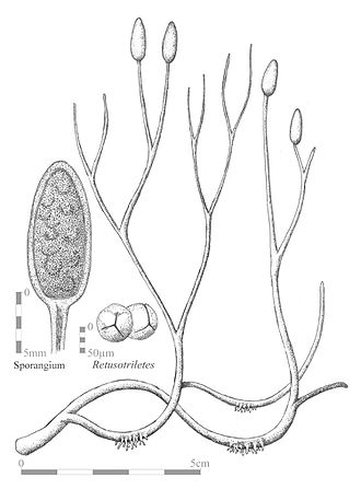 Aglaophyton - Reconstruction of the sporophyte of Aglaophyton, illustrating bifurcating axes with terminal sporangia, and rhizoids. Insets show a cross-section of a sporangium and the probable spores.