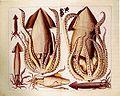 Albertus Seba Tintenfische.jpg
