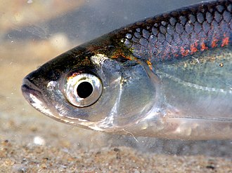 Common bleak - The shiny and pearly colors on the head of a bleak in direct sunlight