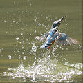 Alcedo atthis -water -splash-8.jpg