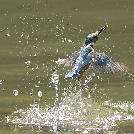 Alcedo atthis -water -splash-8