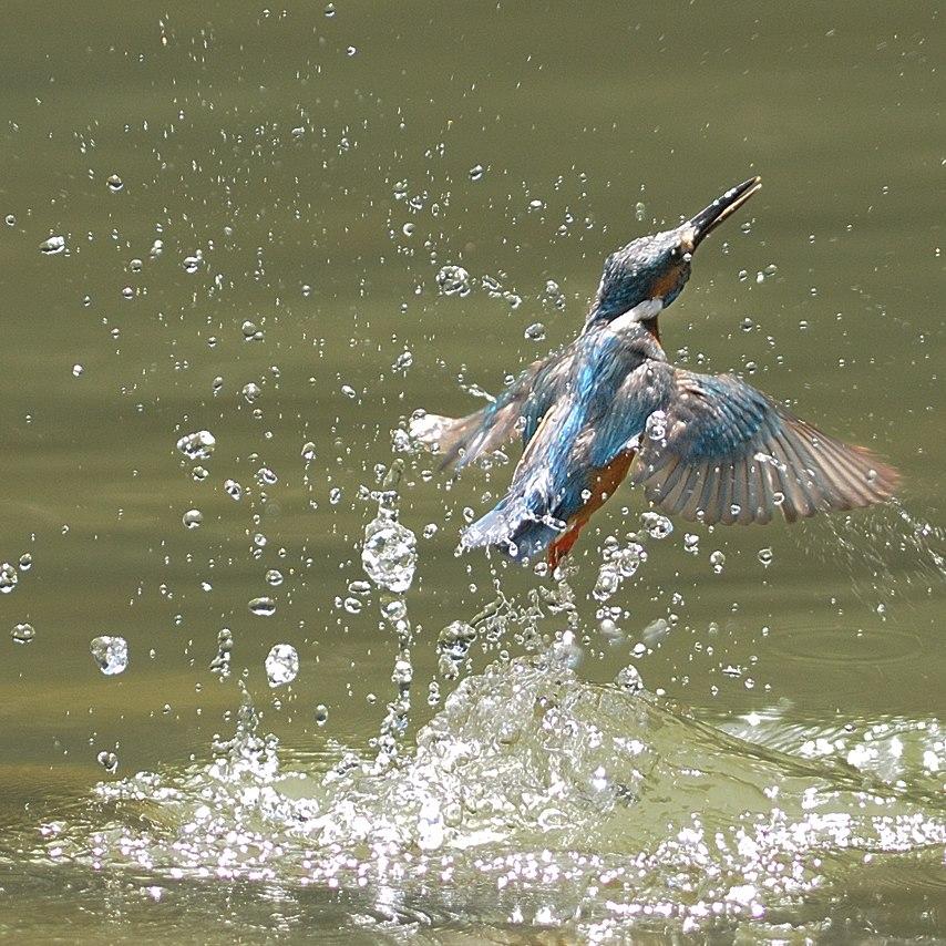 Alcedo atthis -water -splash-8