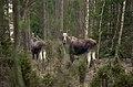 Alces alces 06(js), Biebrza National Park (Poland).jpg