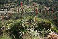 Algaida - Puig de Randa - Santuari de Gràcia - Aloe 01.jpg