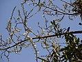 Alinnil (Malayalam അഴിഞ്ഞില്) (5486109744).jpg