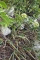 Allium albidum 07.jpg