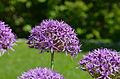 Allium atropurpureum2 FR 2014.JPG