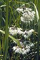 Allium cernuum.jpg