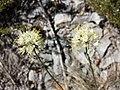 Allium ericetorum sl5.jpg