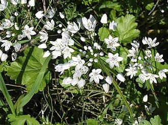 Allium neapolitanum - Image: Allium neapolitanum in early Spring