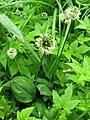 Allium ochotense 3.jpg