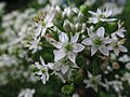 Allium tuberosum, 2021-09-05, Beechview, 02.jpg