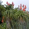 Aloe pluridens (3).jpg