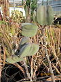 Aloe variegata seeds (4552432694).jpg