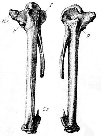 Mauritius sheldgoose - Holotype carpometacarpus