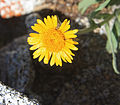 Alpine gold Hulsea algida close flower.jpg