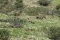 Alpine marmot - Marmota marmota - panoramio.jpg