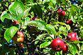 Alter Apfelbaum - panoramio.jpg