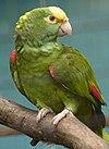 Amazona ochrocephala -Jurong Bird Park-8a.jpg