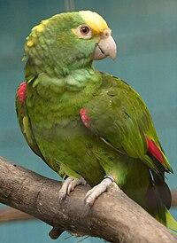 Amazona ochrocephala -Jurong Bird Park-8a