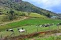 Ambewela farm (Cattle).jpg