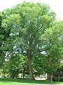 American Elm Tree, Deerfield Academy, Old Deerfield, MA - June 14, 2012.jpg