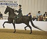 160px american saddlebred14